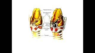 Анатомия. Дыхательная система. Строение
