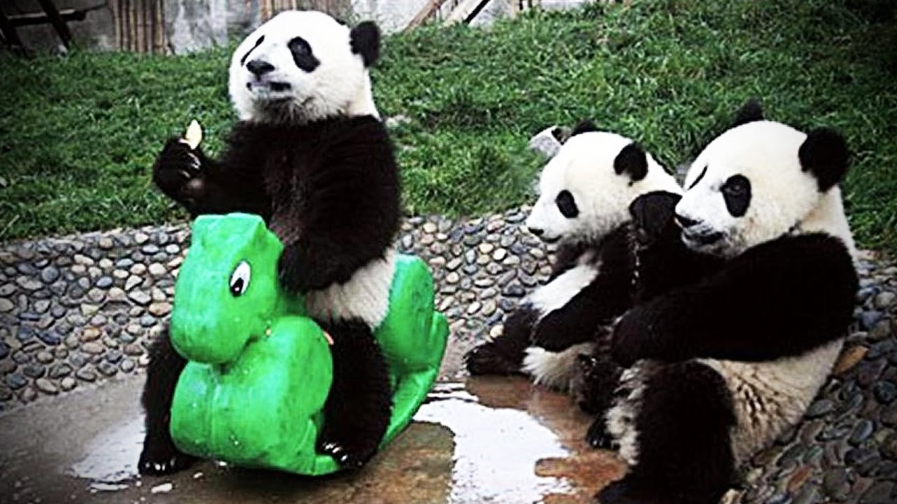 Cute, playful pandas videos: Pick your favourite | The Star