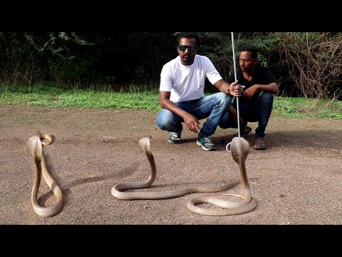 Snake release time and snake information | wildlife rescue society Ahmednagar