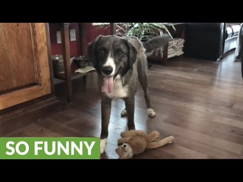 Puppy gets super excited over new squeaky toy