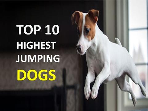 TOP 10 HIGHEST JUMPING DOG BREEDS