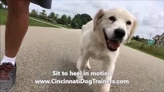 English Golden sit to heel in motion: Cincinnati Dog Trainers Off Leash K9
