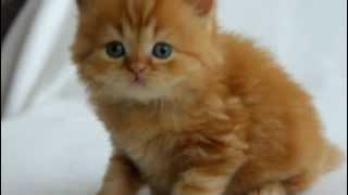 Британский красный длинношерстный котенок