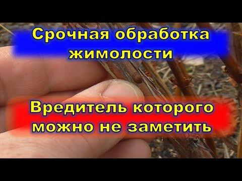 Срочная обработка жимолости  Вредитель которго не видно