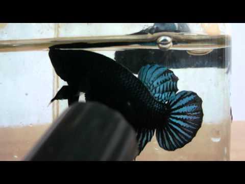 ปลากัดเก่ง เบอร์ 144 มาเลย์ลูกร้อย สนใจโทร.088-8871641