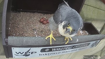 The Wakefield Peregrine Project - Live Nest Cam