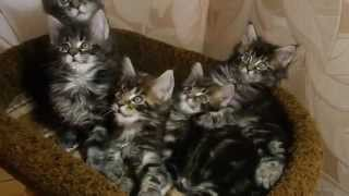 Котята мейн-кун окрас черный мраморный