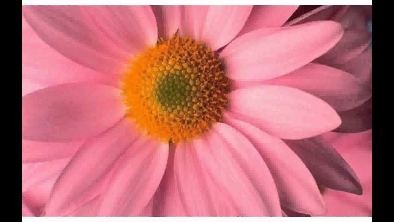 Big pink daisy pictures youtube big pink daisy pictures izmirmasajfo