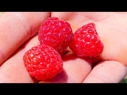 LIVE: LEBANESE... Raspberries, Strawberries, Red Current, White Current, Blueberries, Blackberries