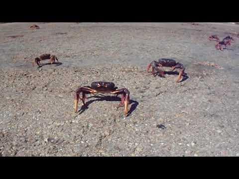 CUBA Bay of Pigs Crab Migration2