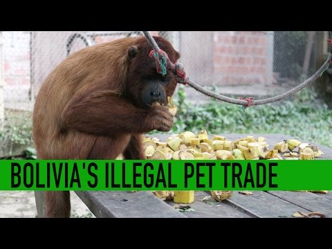 Bolivia's illegal pet trade - Bears, birds and big hearts