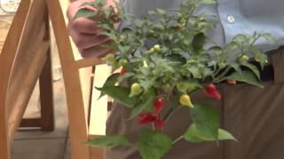 How to Grow and Care Ornamental peppers Shizuku