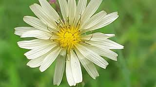 Lactuca indicar/ 왕고들빼기꽃 ,씨앗,먹는…