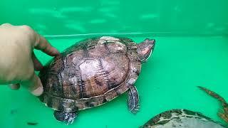 Tortugas orejas rojas hembra y macho 2 a. Parte..