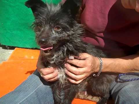 A4919280 Scout   Cairn Terrier Puppy