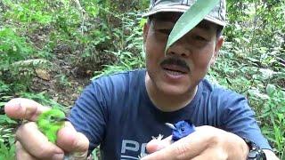 memulut burung cucak hijau dan selendang biru di hutan lebat