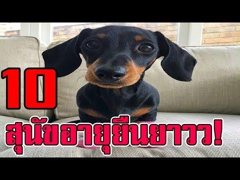 10 สายพันธุ์ สุนัขที่มีอายุยืนมากที่สุดในโลก !