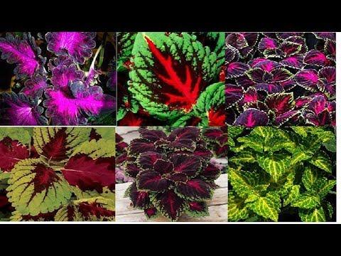 Колеус красивое растение для оформления сада, и как комнатный цветок!