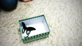 Подарок для Вари: живые бабочки