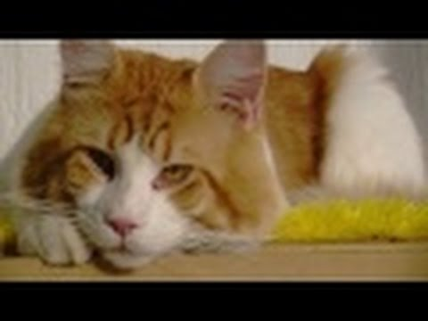 Maine Coon Cat Facts Part 1 - English Subtitles - TvAgro por Juan Gonzalo Angel