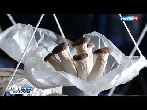 грибы вешенка в краснодарском крае