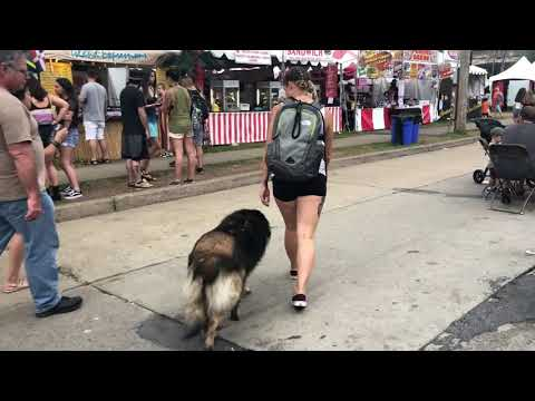 bethlehem-township-dog-trainers-|||-olk9-lehigh-valley-|||-1.5-year-old-belgian-tervuren,-judge