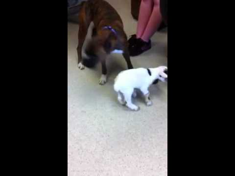 a baby goat and a boxer youtube