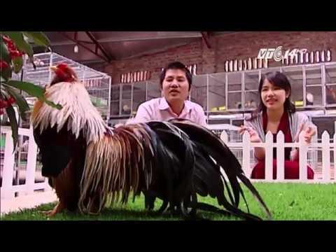 """(VTC14)_Trang trại """"gà vũ công"""" ngàn đô của tỷ phú trẻ Hà thành"""