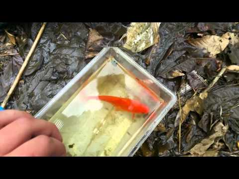 Goldfish Caught In Creek!!