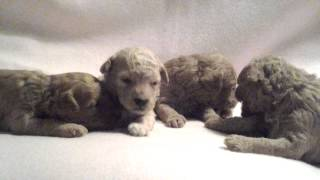 Miniature Poodle Puppies (newborn - 2 1/2 Weeks Old)