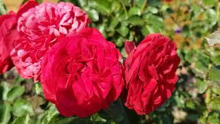 Обзор сада 22.09.2018: розы, очитки, бересклет. Переделки в саду.