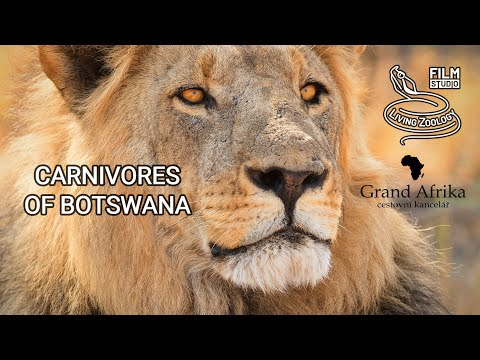 Carnivores Of Botswana, Lions, Leopards, Wild Dogs And Hyenas, Chobe And Moremi Wildlife Safari
