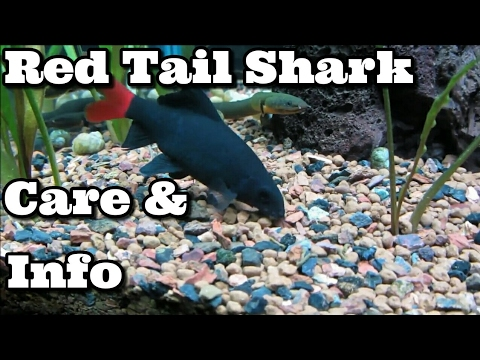 Red Tail Shark Care And Information