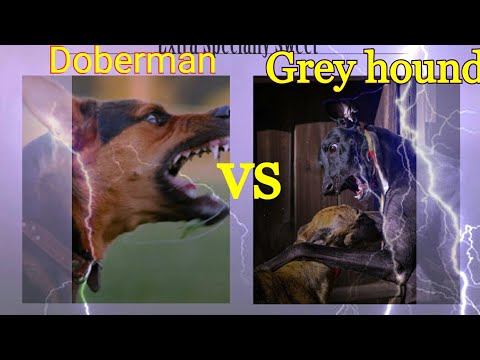 Doberman vs Grey hound Dog Comparison by Dog tubed