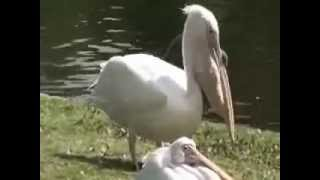 The Pelican Eats Live Pigeon.