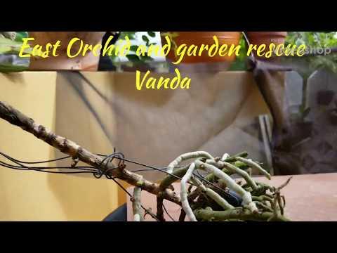 East Orchid And Garden Vanda Rescue