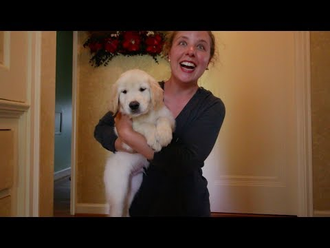 Golden Retriever Puppy Surprise 06/11/2017