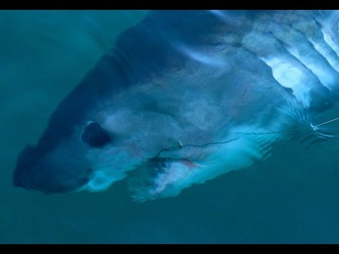 Big Porbeagle Shark Caught And Released Off Lough Swilly, Donegal 2010.
