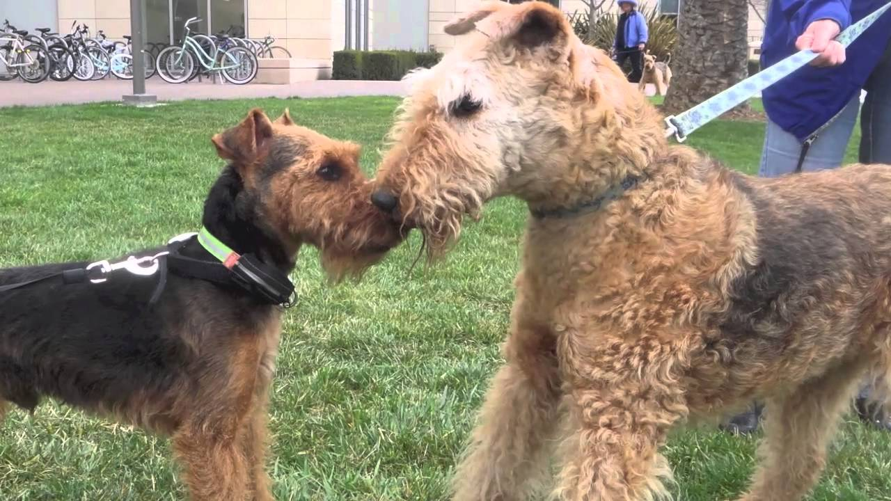 Welsh Terrier, Jax, Transforms Into Airedale Terrier  FunnyDog.TV