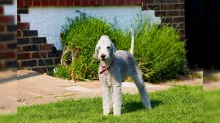 Bedlington terrier. Pros y contras, precio, Cómo elegir, hechos, cuidado, historia