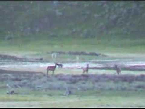 Wolves Hunt Elk in Yellowstone
