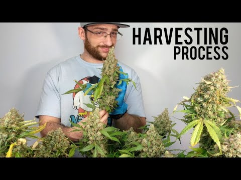 CANNABIS MARIJUANA HARVEST: DRYING, TRIMMING, CURING