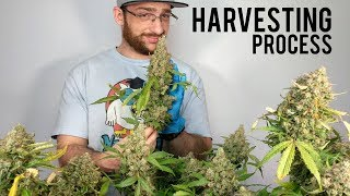 CANNABIS MARIJUANA HARVEST DRYING, TRIMMING, CURING