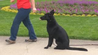 """Super Dog """"Allie von Prufenpuden"""" 1 Yr Black German Shepherd For Sale"""