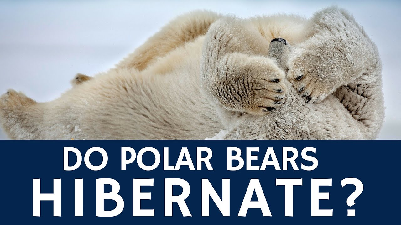 Do Polar Bears Hibernate – Basic Animal Facts for Kids ...