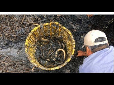Thu Hoạch Bồn LƯƠN nuôi 8 Tháng - Tòan lươn loại NHẤT   Eel harvest 8 month in Dong Thap, Viet Nam
