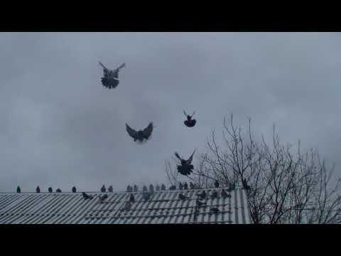 г Обоянь Николаевские голуби