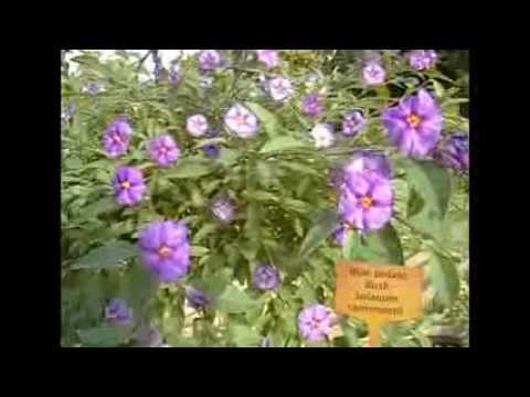 The Gardener Magazine: Blue Potato Bush Solanum rantonnetii