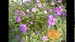 The Gardener Magazine: Blue Potato Bush Solanum rantonnetii