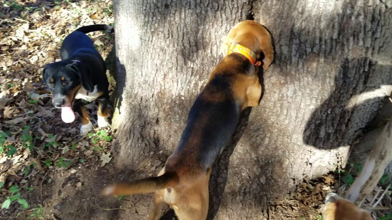 Roark S Blackcreek Beagles Youtube